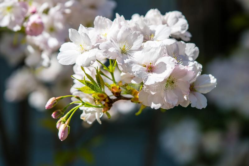 Colpo bianco dei fiori di ciliegia macro fotografie stock libere da diritti