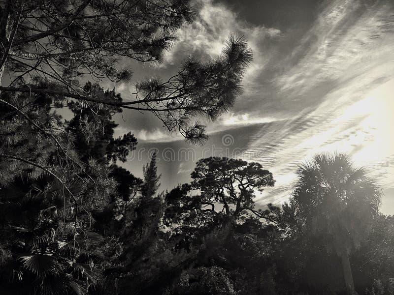 Colpo in bianco e nero degli alberi e del cielo immagine stock