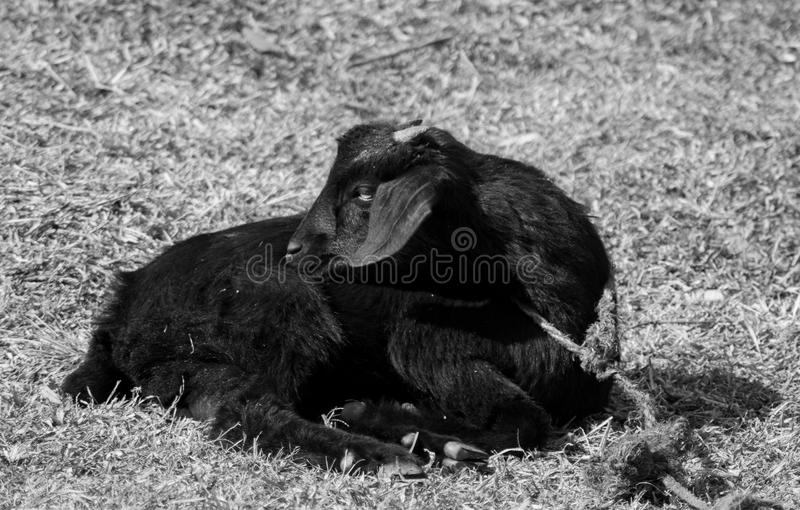 Colpo in bianco e nero della capra nera fotografia stock libera da diritti