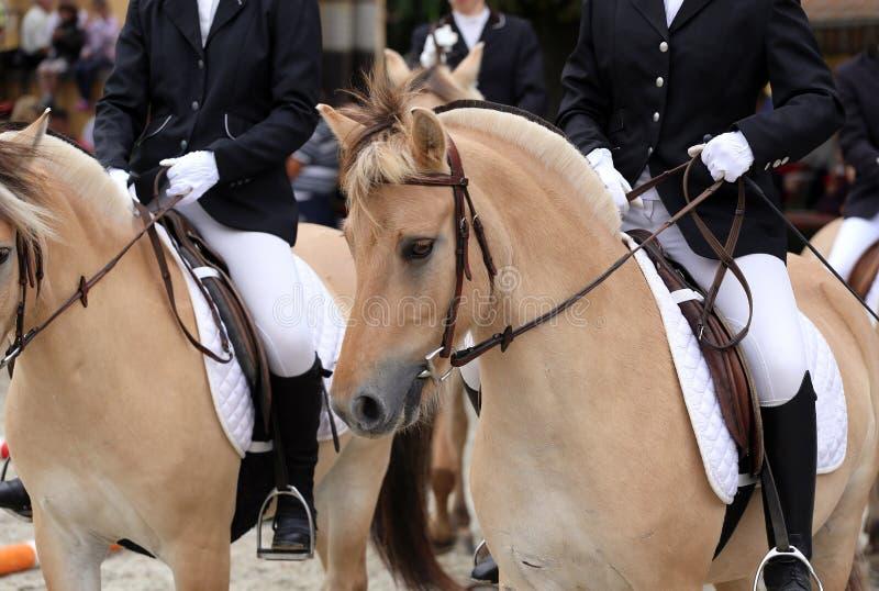 Colpo capo dei cavalli norvegesi allegri di un fiordo sulla manifestazione di dressage immagine stock