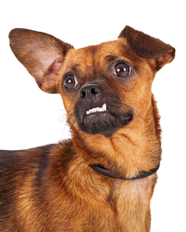 Colpo capo del cane della chihuahua con Underbite immagine stock