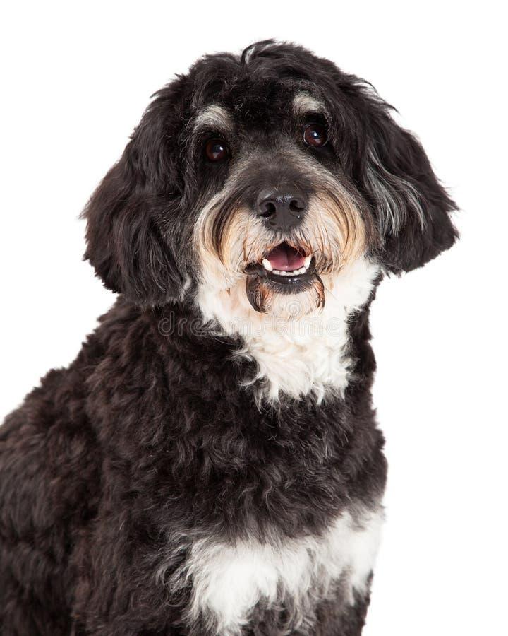 Colpo capo del cane della razza della miscela del barboncino fotografia stock
