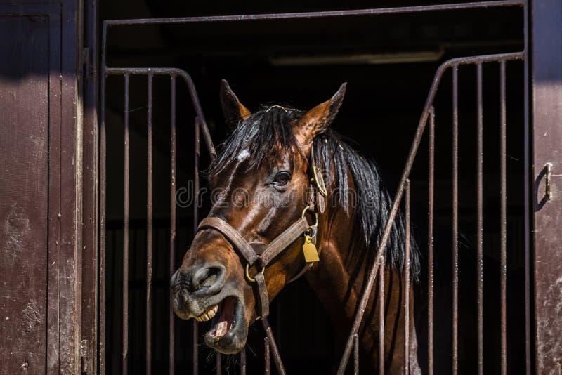 Colpo capo del cavallo di Brown che esamina la porta stabile fotografie stock