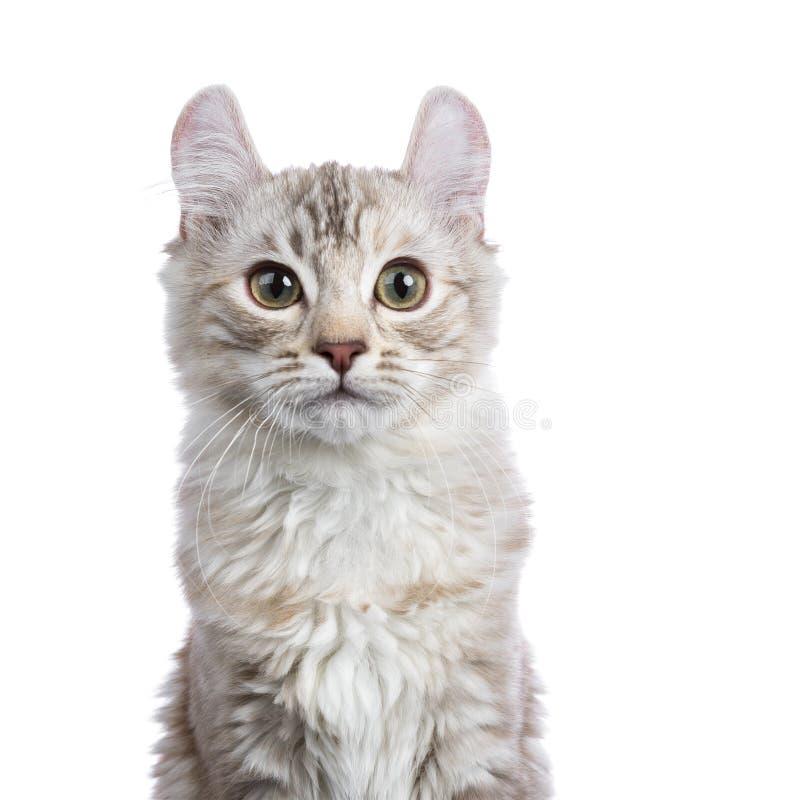Colpo capo del gatto americano del ricciolo del soriano del tortie dell'argento del cioccolato immagine stock libera da diritti
