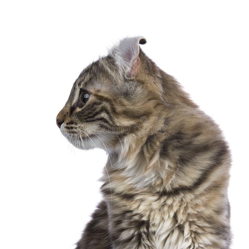 Colpo capo del gatto americano del ricciolo del soriano del tortie di mancanza fotografia stock libera da diritti