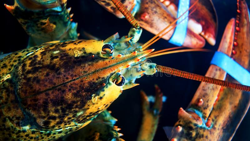 Colpo capo del panulirus ornatus del palinuro in acquari fotografia stock