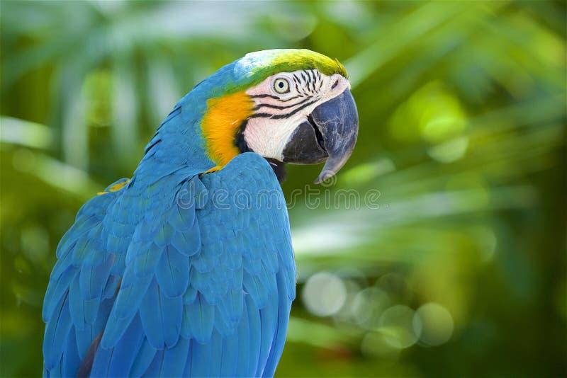 Colpo capo del pappagallo dell'ara fotografie stock
