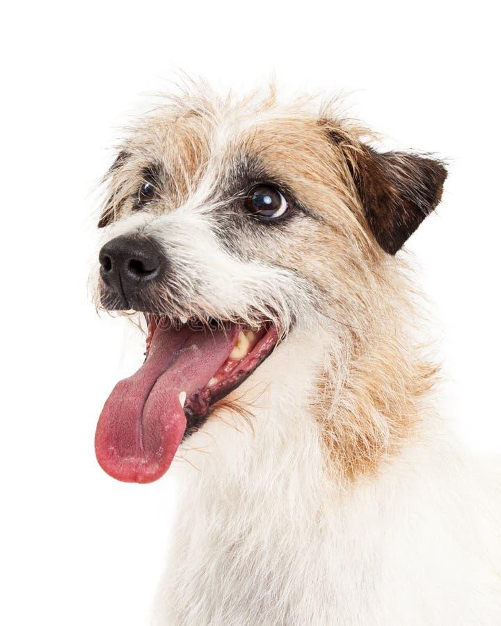 Colpo capo di profilo di Jack Russell Terrier Dog fotografia stock libera da diritti