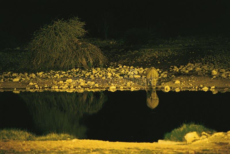 Colpo d'innaffiatura di notte del rinoceronte