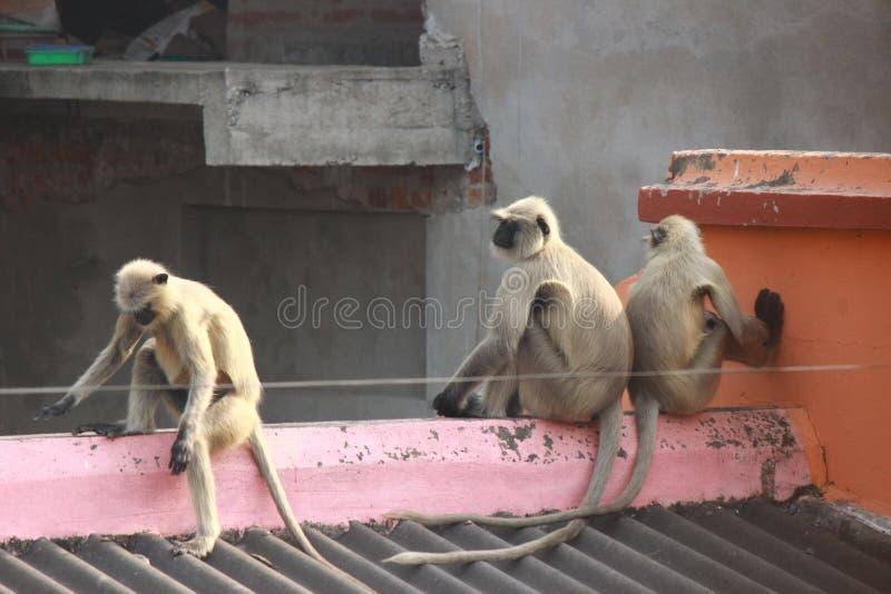 Colpo del gruppo delle scimmie fotografie stock
