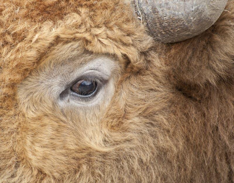 Colpo dell'occhio della mucca macro immagini stock