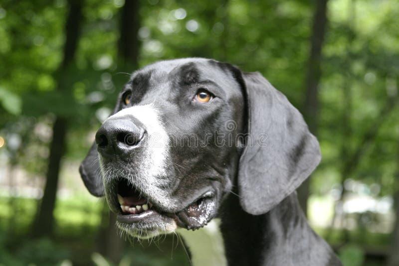 Download Colpo Della Testa Del Grande Danese Fotografia Stock - Immagine di cane, grande: 219228