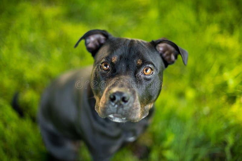 Colpo di abbronzatura e nero del pitbull terrier della testa fotografia stock libera da diritti