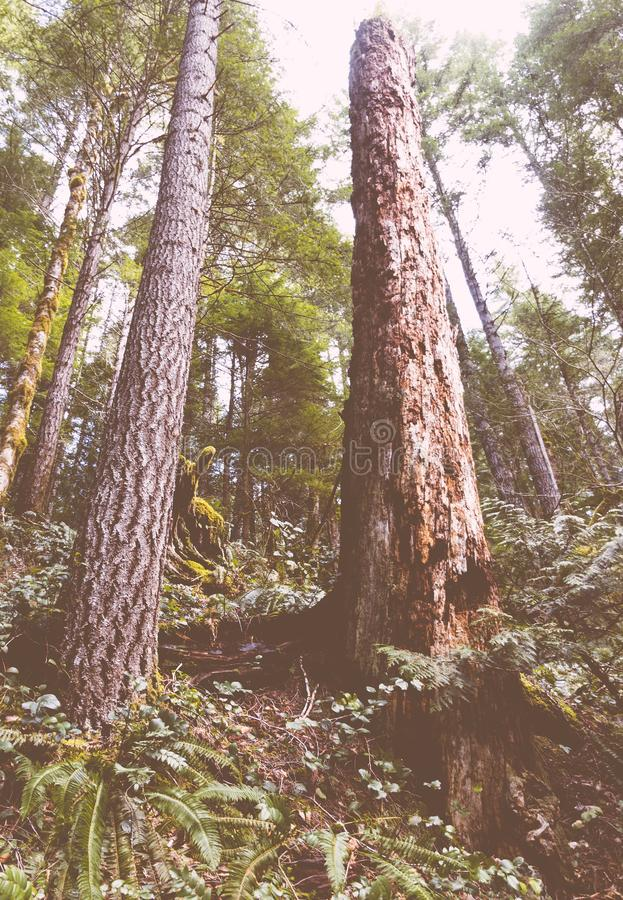 Colpo di angolo basso degli alberi alti in una bella foresta fotografia stock libera da diritti