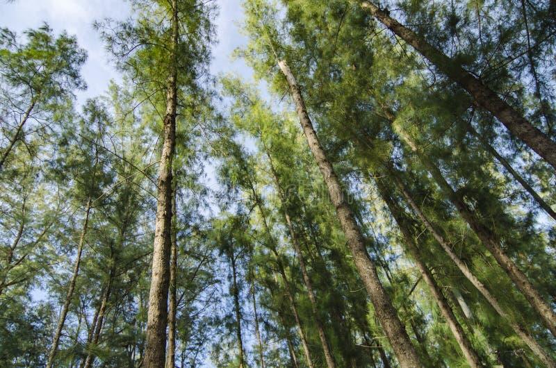 Colpo di angolo più basso, sotto il tronco del parco di casuarina equisetifolia della quercia del mare fotografia stock