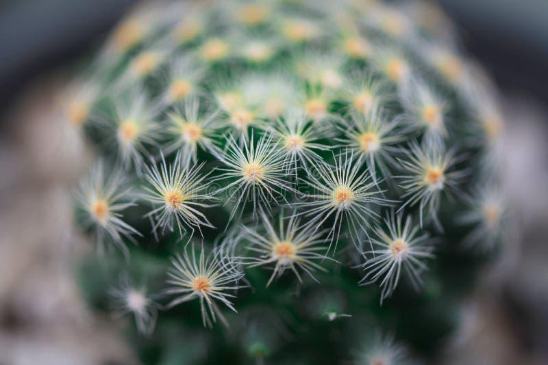 Colpo di macro del cactus fotografie stock libere da diritti