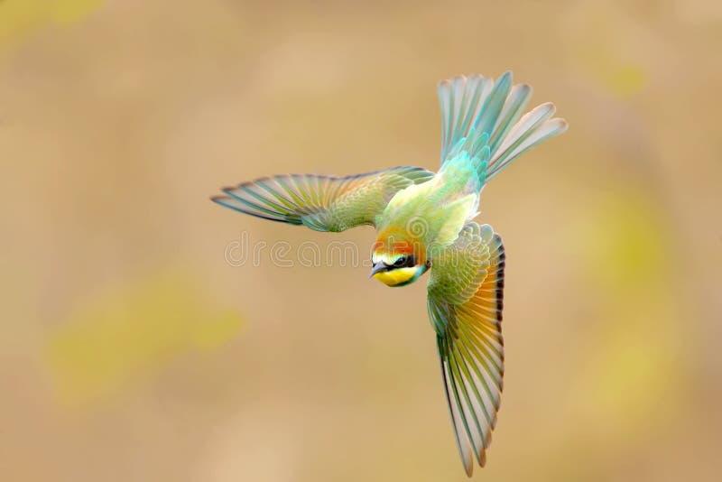Colpo insolitamente bello di giovane ape-mangiatore in volo fotografia stock