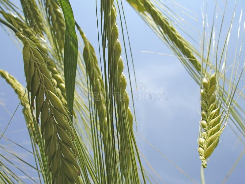 Colpo a macroistruzione delle orecchie del frumento immagine stock