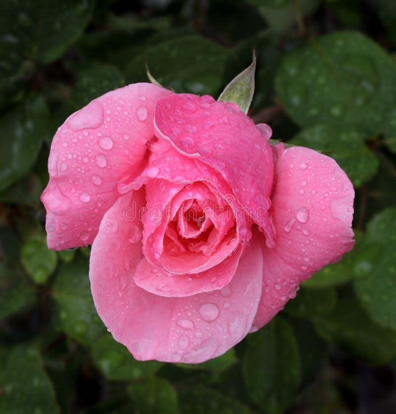 Colpo a macroistruzione di rosa di colore rosa con le gocce della pioggia immagini stock