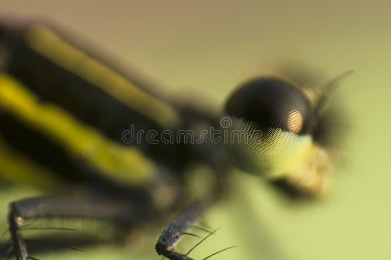 Colpo a macroistruzione di una libellula Vicino quanto ottiene immagine stock