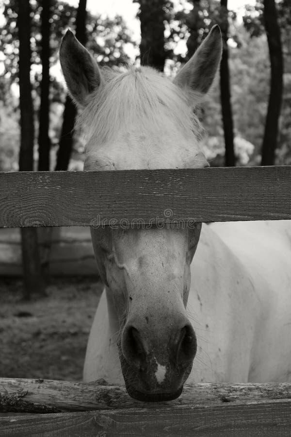 Colpo potato del cavallo bianco Cavallo in una stalla immagine stock