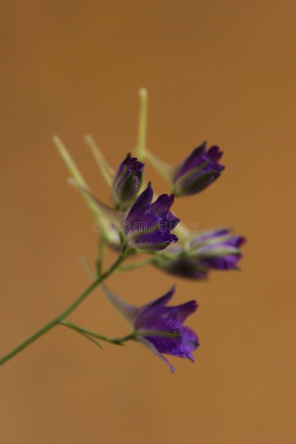 Colpo potato del wildflower blu sopra fondo giallo Bella priorit? bassa della natura immagini stock libere da diritti