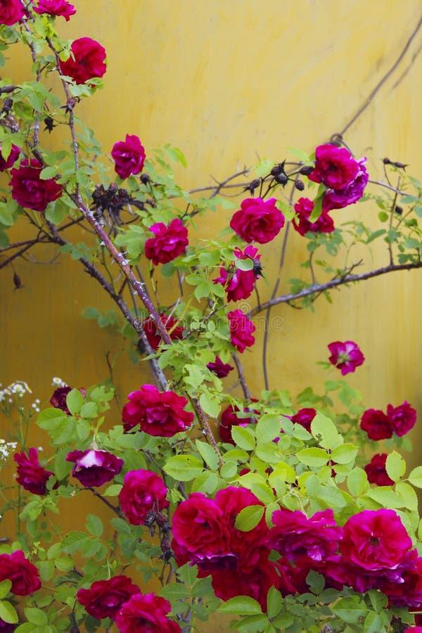 Colpo potato dell'belle rose rosse sopra fondo giallo Priorit? bassa variopinta della natura fotografia stock