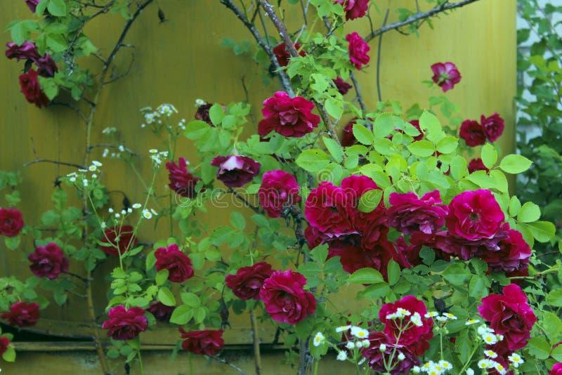 Colpo potato dell'belle rose rosse sopra fondo giallo Priorit? bassa variopinta della natura immagine stock