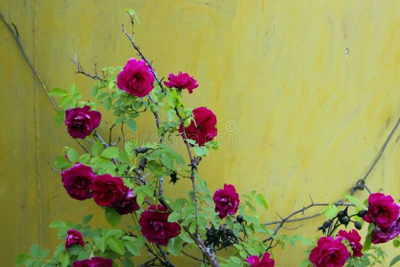 Colpo potato dell'belle rose rosse sopra fondo giallo Priorit? bassa variopinta della natura immagini stock