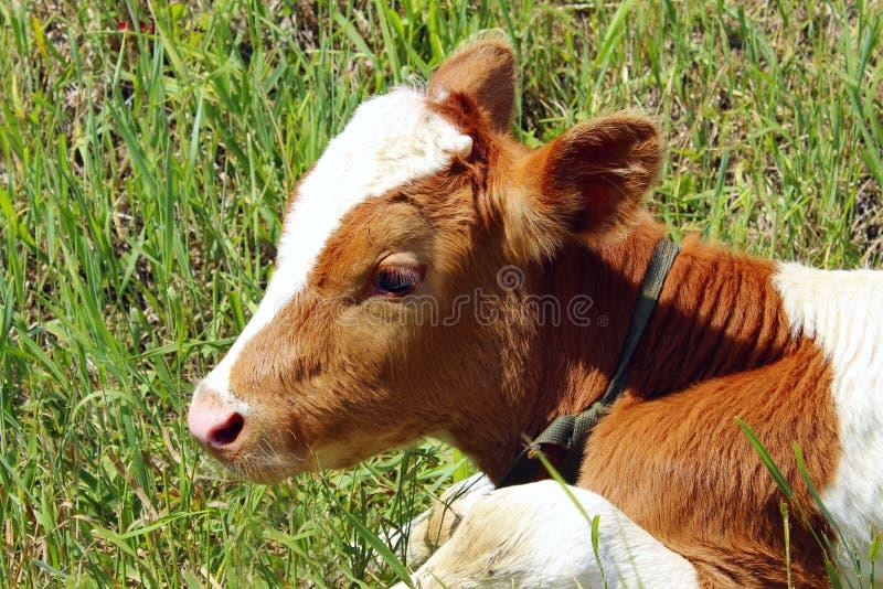 Colpo potato di un vitello sveglio Il cubo della mucca fotografia stock