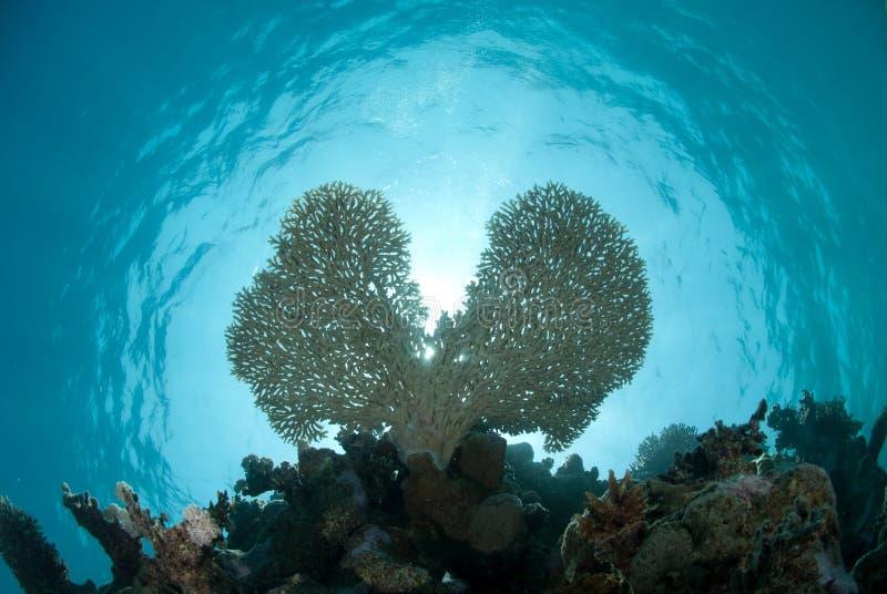 Colpo subacqueo del corallo a forma di della tabella del cuore. immagini stock libere da diritti