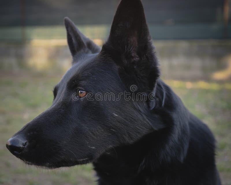 Colpo tedesco nero della testa di cane da pastore fotografia stock libera da diritti