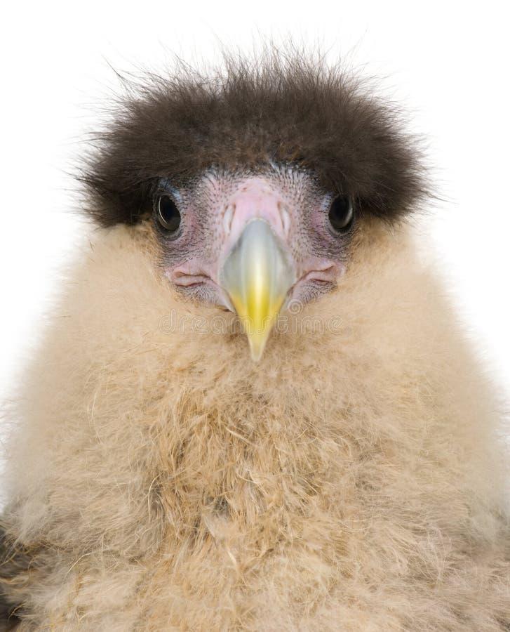 Colpo in testa dei falconidi del sud, vecchio 20 giorni del primo piano fotografia stock libera da diritti