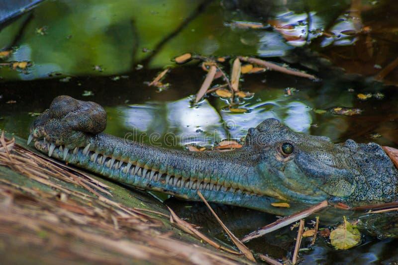Colpo in testa del coccodrillo fotografia stock libera da diritti