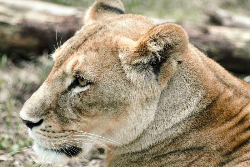 Colpo in testa della leonessa che si trova sulla terra immagini stock libere da diritti