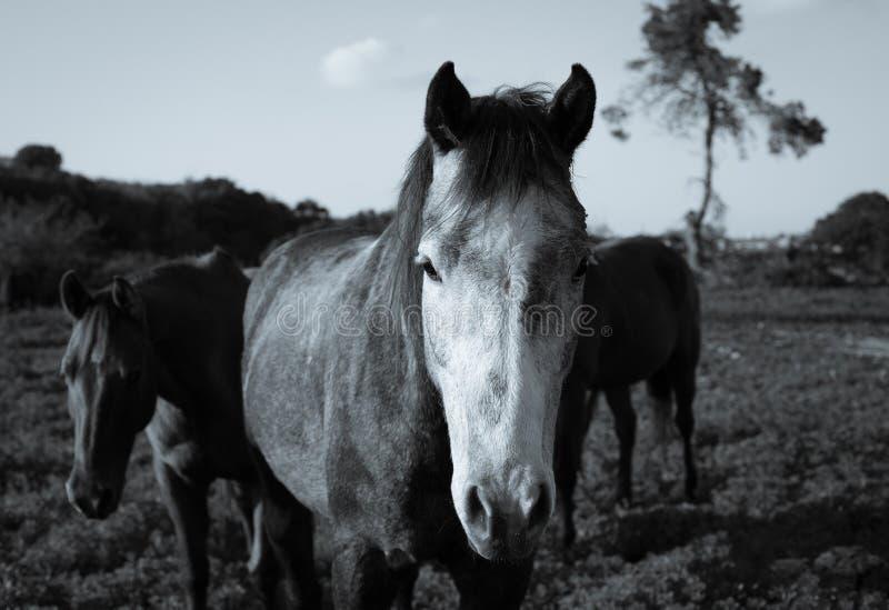Colpo in testa di un cavallo nel prato Foto in bianco e nero di Pechino, Cina immagine stock