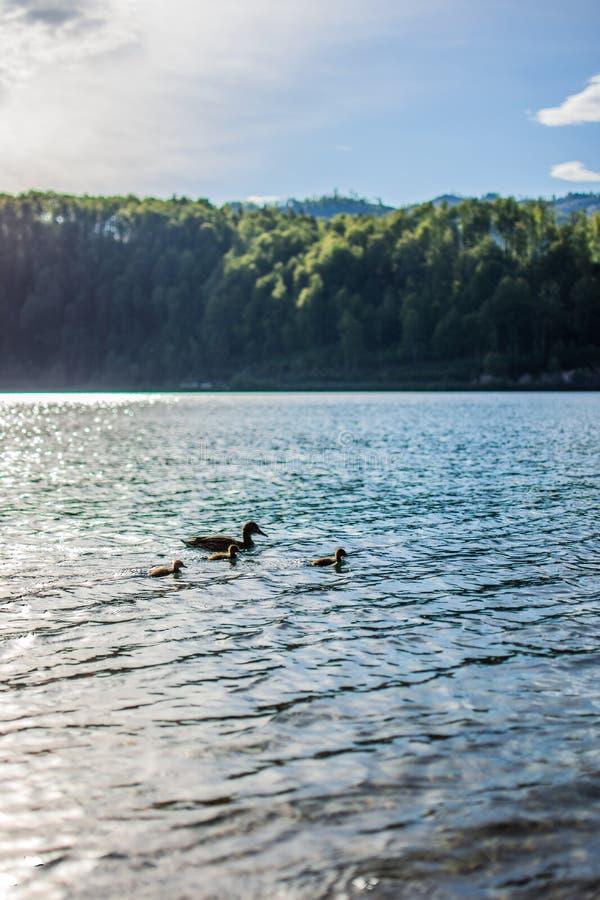 Colpo verticale di un lago con un'anatra della madre ed il suo nuoto dell'anatroccolo nell'acqua fotografie stock