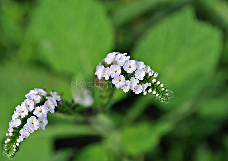 Colseup de la flor de Heliotropium Curassavicum foto de archivo libre de regalías