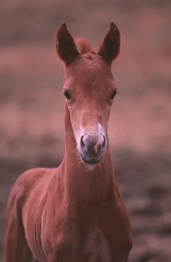 Colt américain de goujon de cheval de peinture image libre de droits