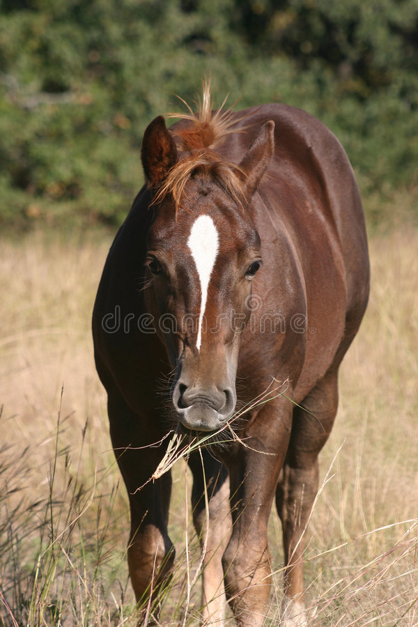 Colt Chewing Grass stock photos