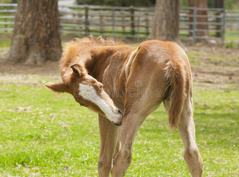 Download Colt cleans itself. stock image. Image of mane, beautiful - 40708505