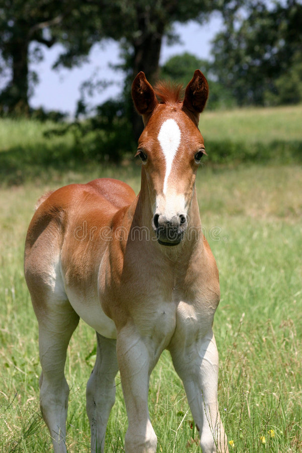 Colt d'oseille images stock