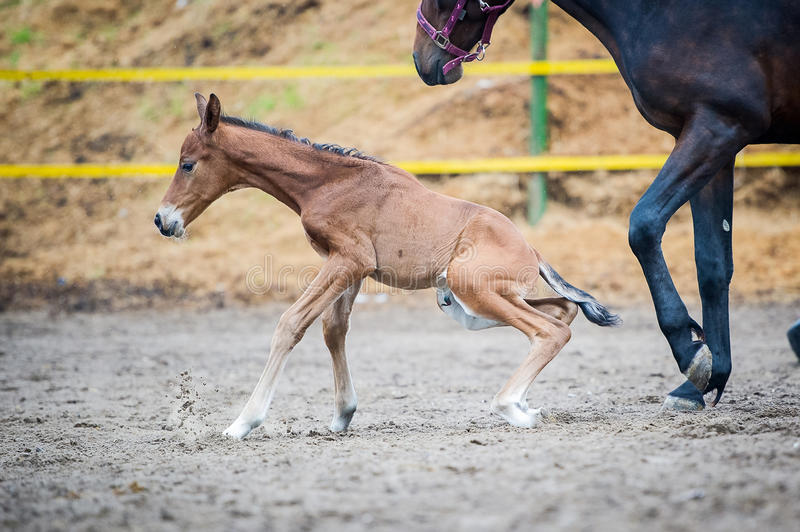 Colt (2-day) walks and played in paddock. The two-day sports crossbred breed foal with his mother-mare walks in paddock on a rainy and cloudy day stock photos