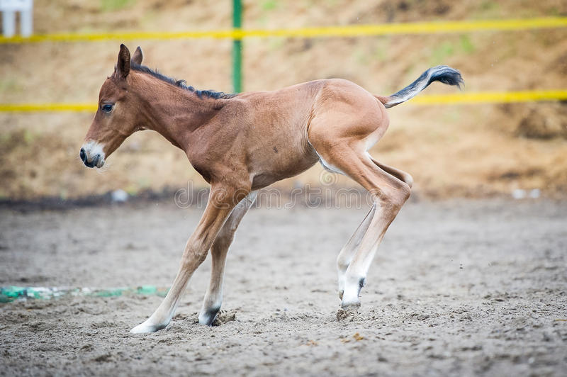 Colt (2-day) walks and played in paddock. The two-day sports crossbred breed foal with his mother-mare walks in paddock on a rainy and cloudy day royalty free stock photography
