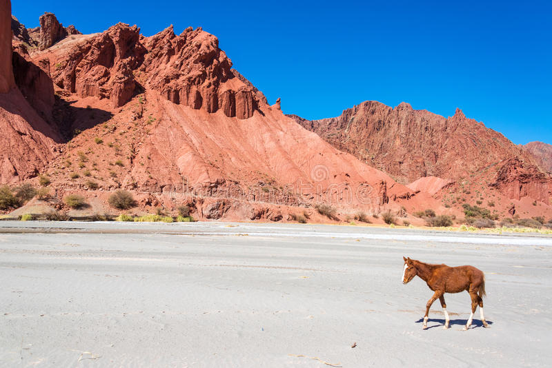 Download Colt in a Dry Desert stock image. Image of andean, desert - 43327207