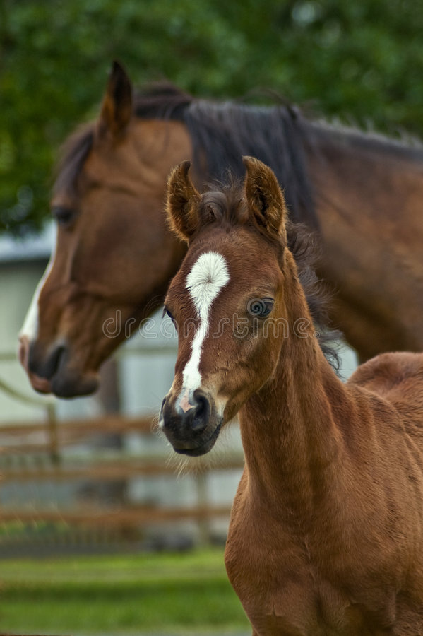 Download Colt, foal and mother stock photo. Image of foals, country - 6943624