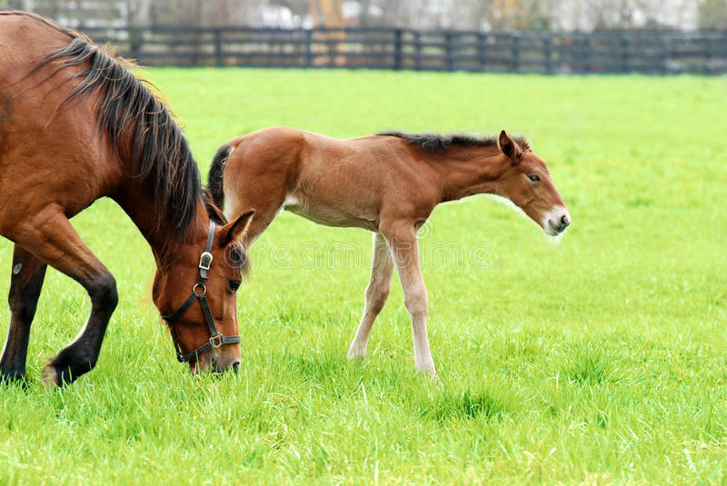 Colt and mare grazing royalty free stock image