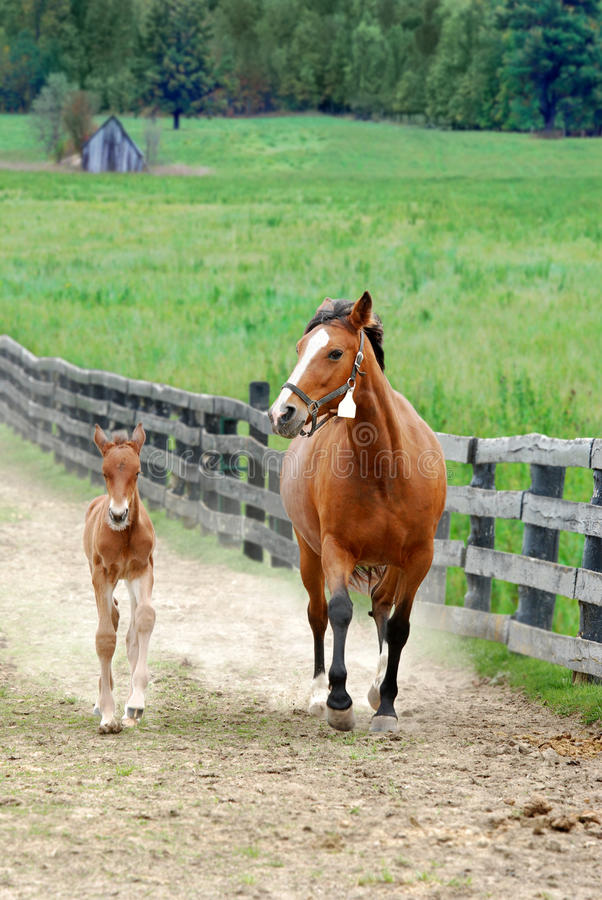 Download Colt and mare running stock image. Image of bridle, arabian - 13902911