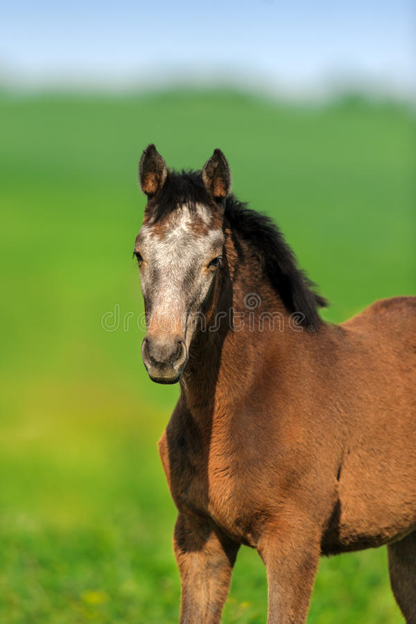 Free Colt Portrait Outdoor Royalty Free Stock Photography - 80596687