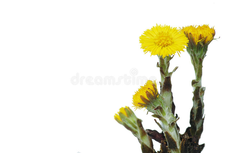 Colt's foot stock image
